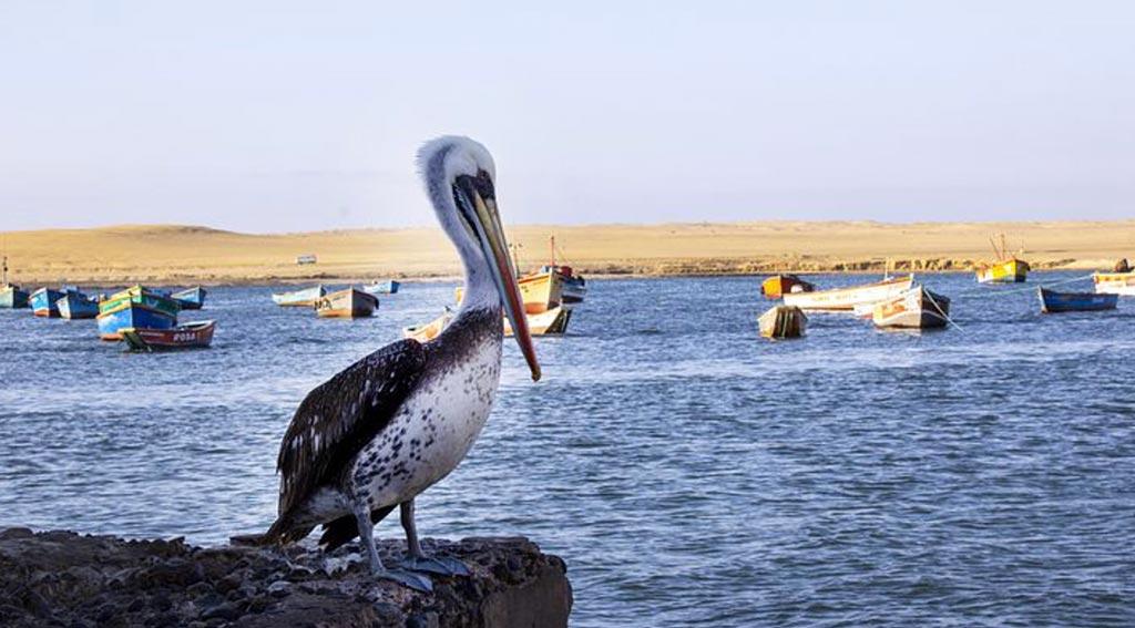 La baia di Pisco è una cartolina con le barche che aspettano i turisti per le escursioni, il deserto polveroso sullo sfondo e i pellicani