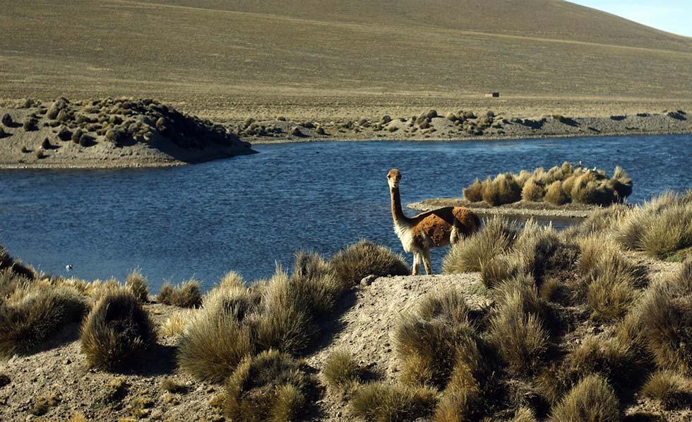 La vigogna era l'animale sacro degli Incas