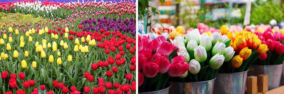 A Amsterdam e in tutta l'Olanda per decenni si crearono coltivazioni e importazioni di tulipani