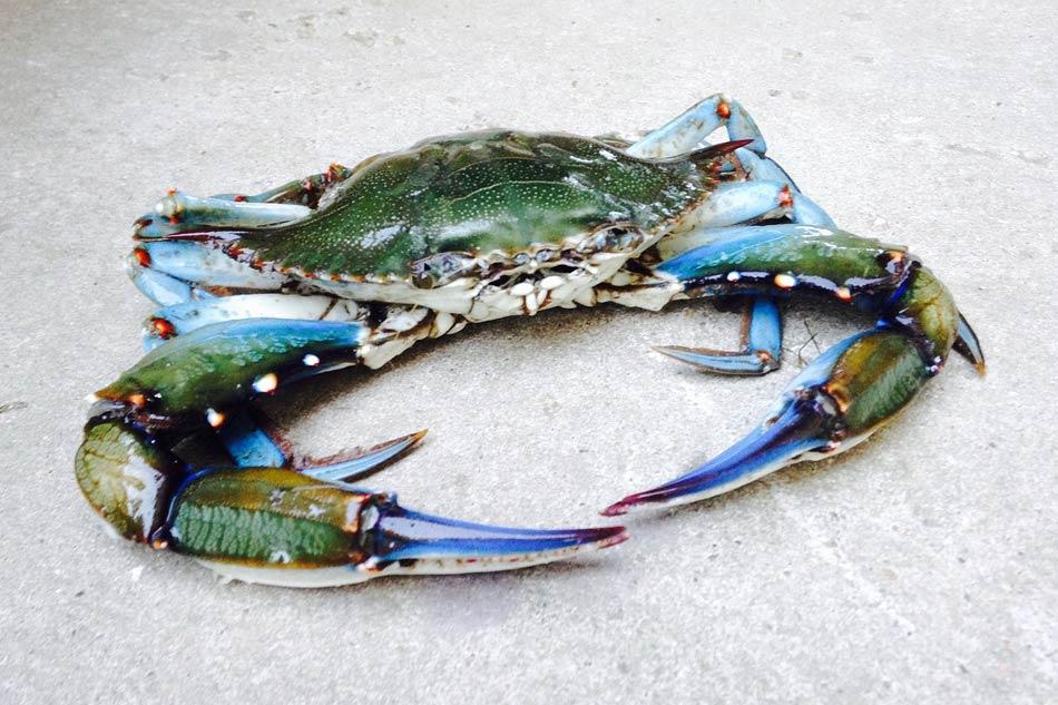 dal terreno sbucano ogni tanto dei granchi blu giganti bellissimi