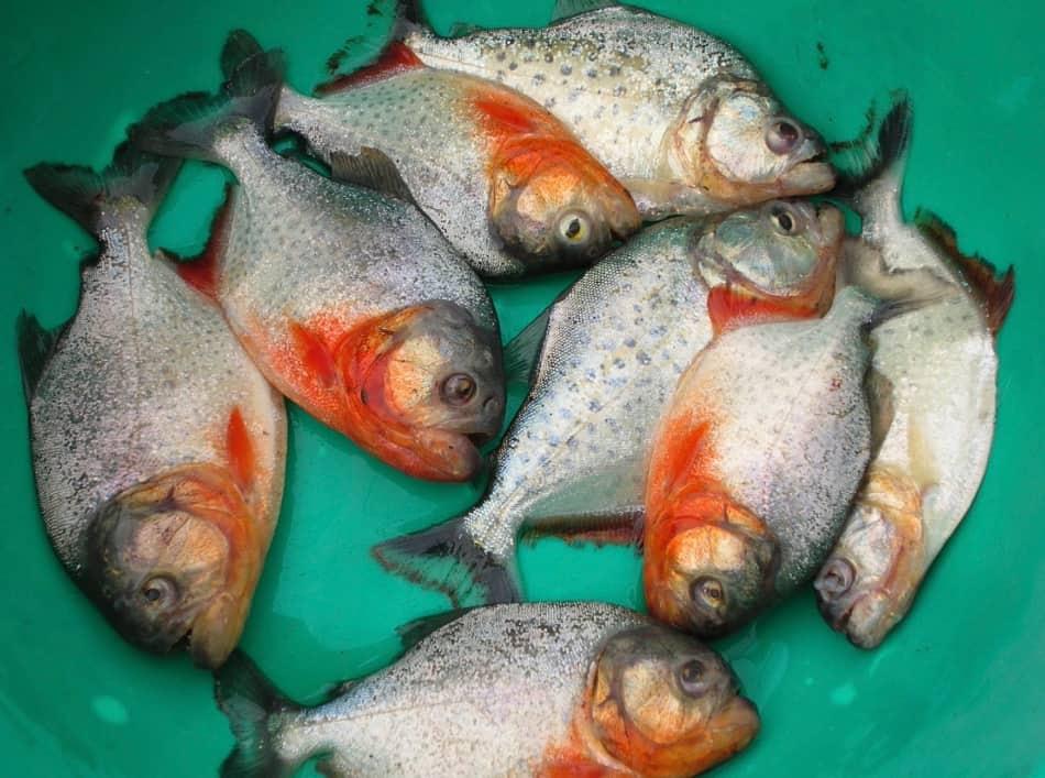 nell'oceano di acqua e di verde vivono tanti animali feroci e pericolosi come i coccodrilli, i piranhas, le anaconde