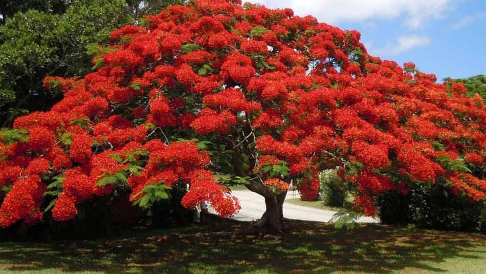 le Bermuda con gli alberi fioriti