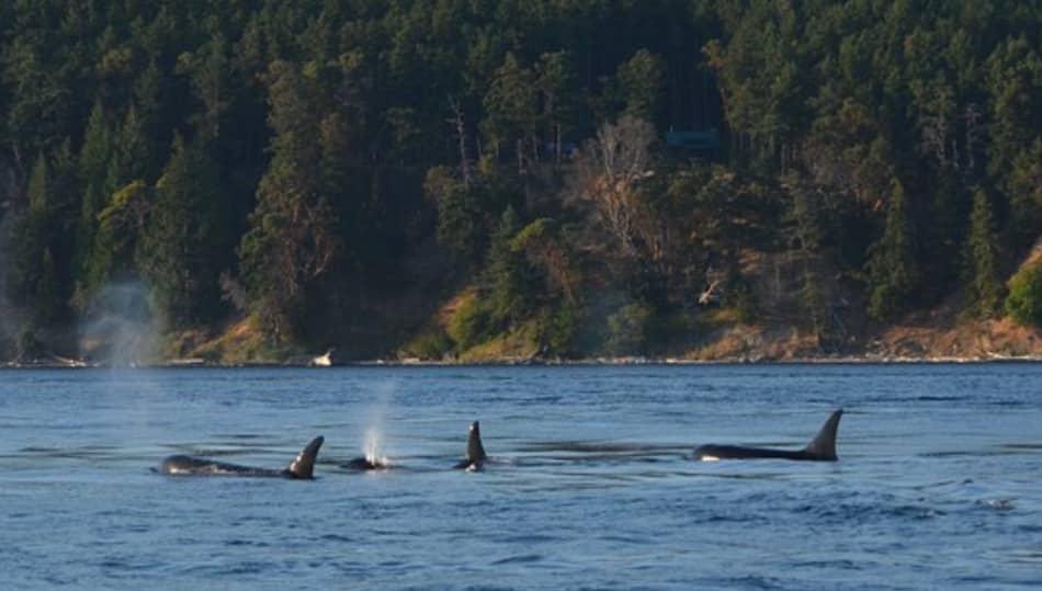 Le orche sono le regine di questi mari
