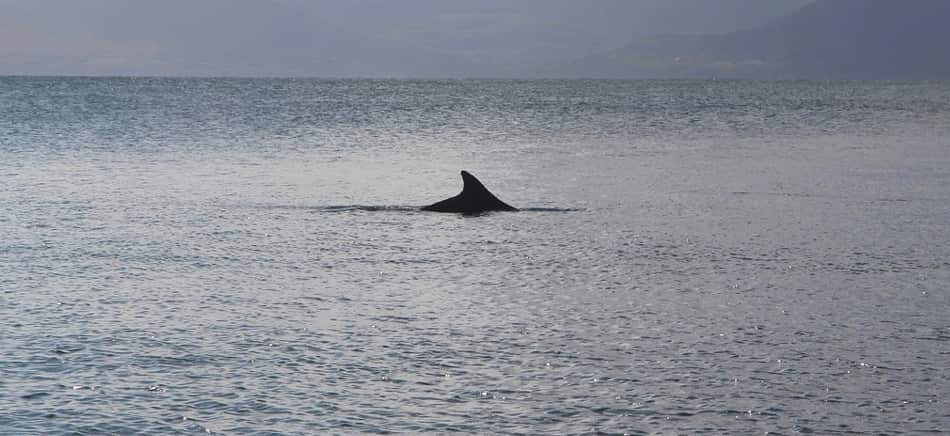 Il delfino è Fungie, una star del luogo