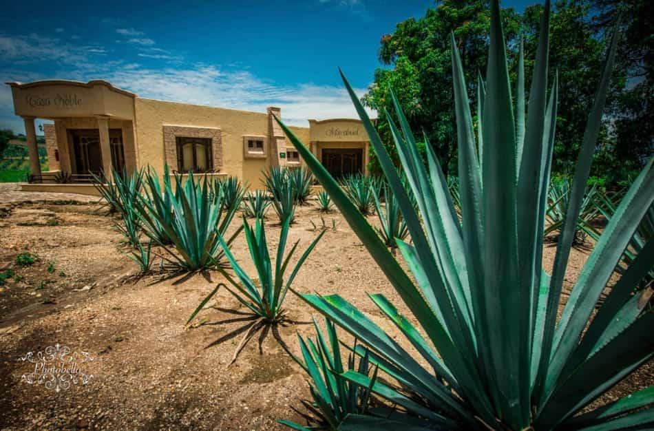 """il tour delle aziende agricole e delle piantagioni dove l'agave azzurro """"maguey"""" sapientemente distillato diventa il poderoso e infuocato liquore tequila"""