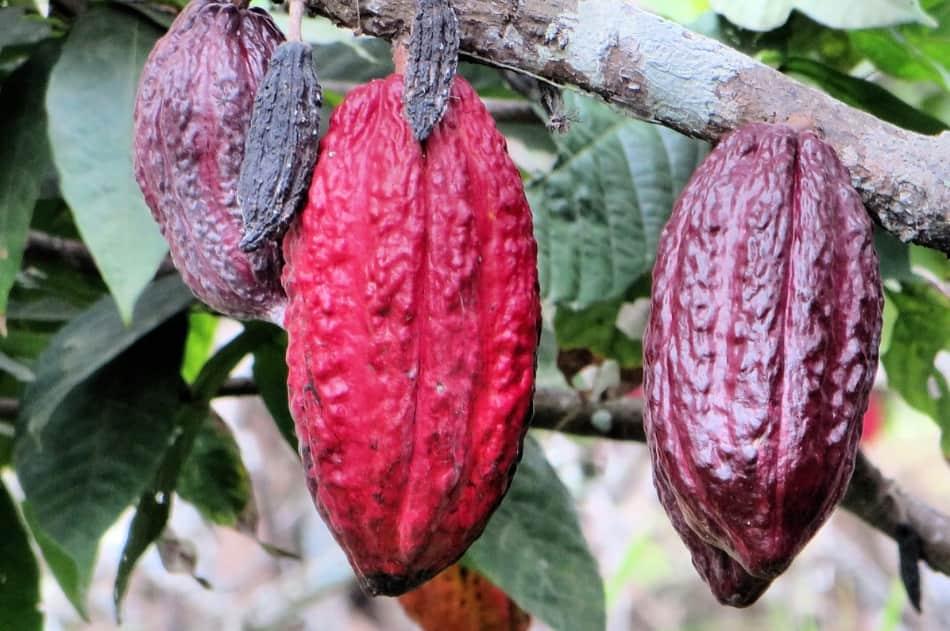 piantagioni di cacao