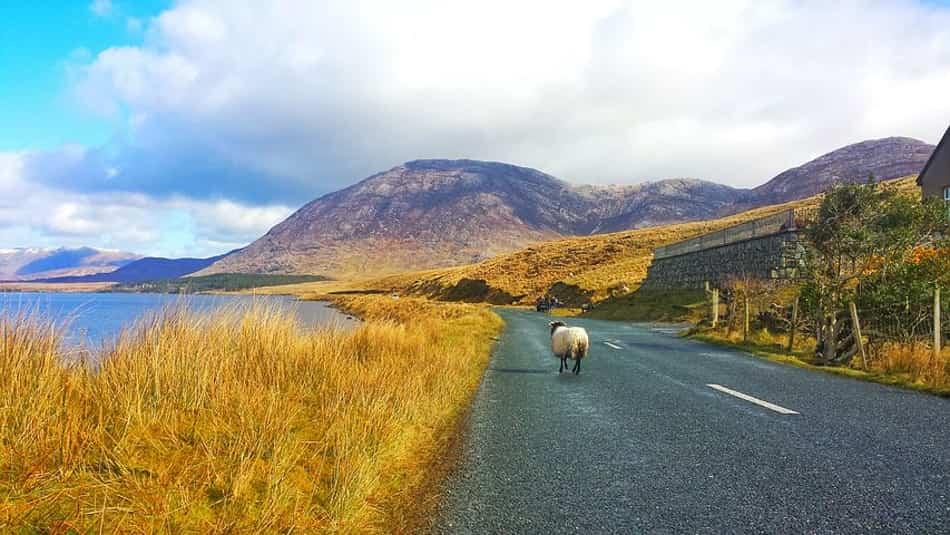 le dolci campagne invase dalle pecore paffute