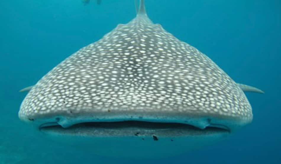 la sagoma enorme ma innocua di uno squalo balena