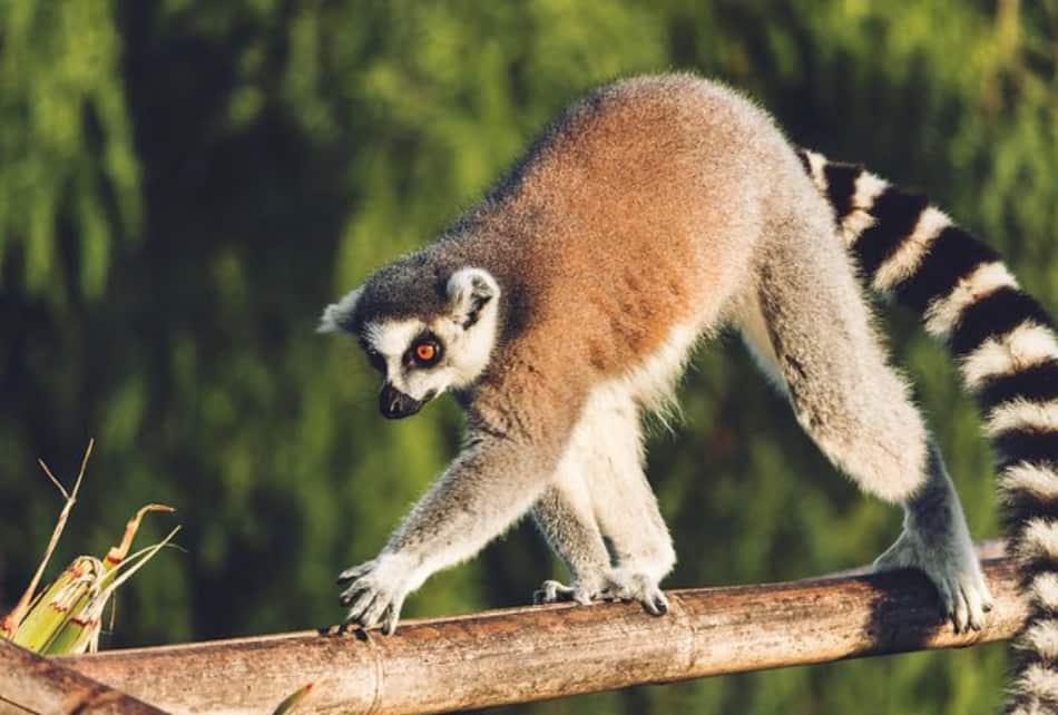 Il mondo dei lemuri
